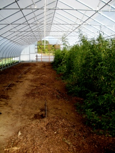 We're clearing out our high tunnel of our tomatoes and getting the space ready for winter spinach. (HBF, September 30, 2013; A. Gross)